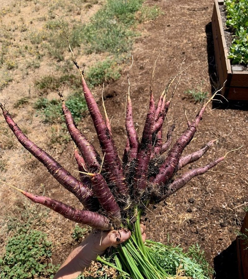 RRC purple carrots
